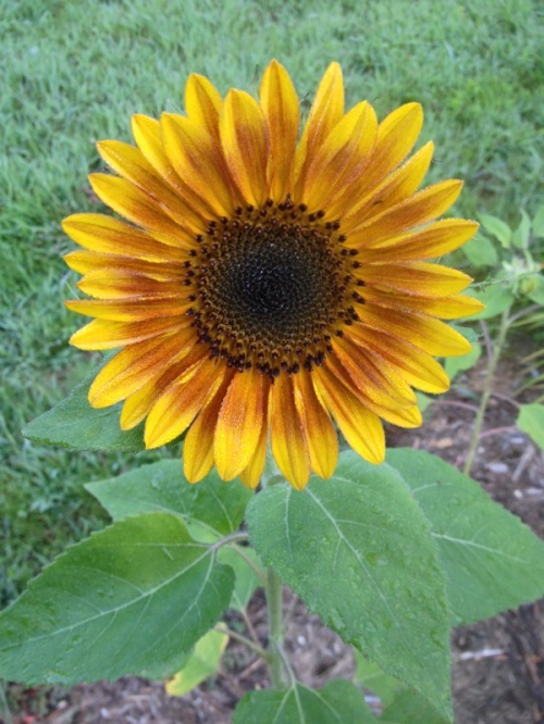 One of the first sunflowers