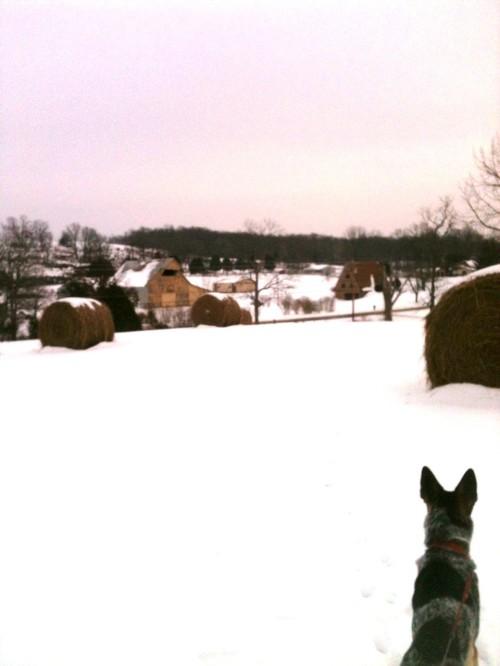 Joey looking at the neighbor's barn