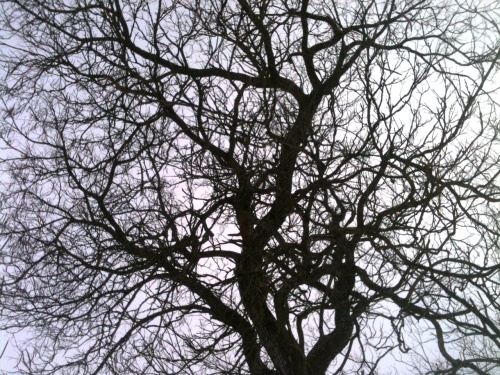 Sky through catalpa branches