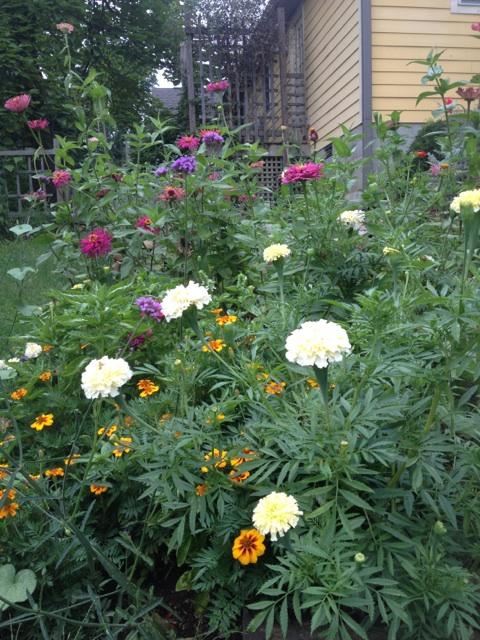 White marigolds, purple zinnias, blue verbena bonariensis, and little golden marigolds