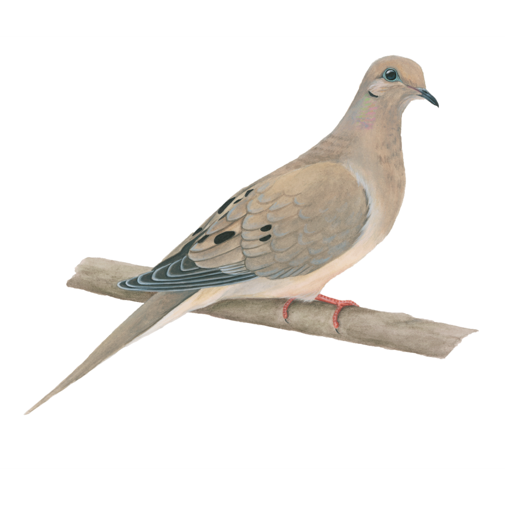 mourning-dove-1024x1024